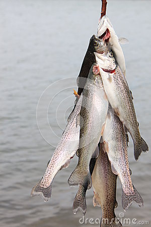 Trout on a Line