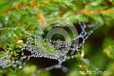 Tröpfchen, die am Spinneweb hängen