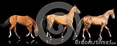 Três cavalos do akhal-teke isolados no preto