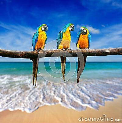 Três papagaios (arara Azul-e-amarela (ararauna) das aros a igualmente conhecido