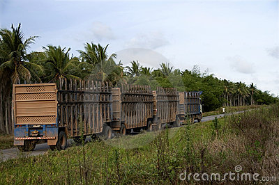 Trucks for transport of sugarcane