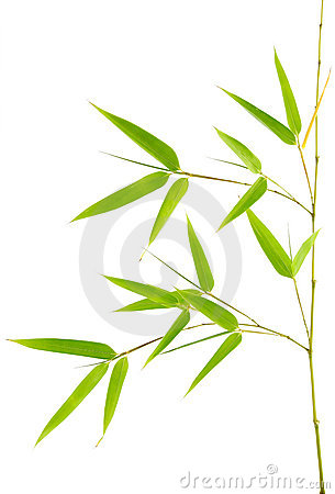 True Bamboo Young Plant