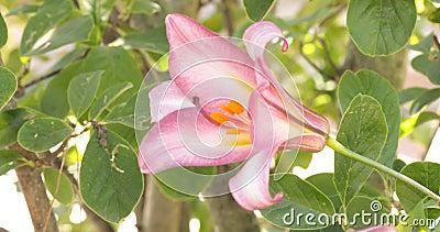 Trumpet Lily i en trädgård lager videofilmer