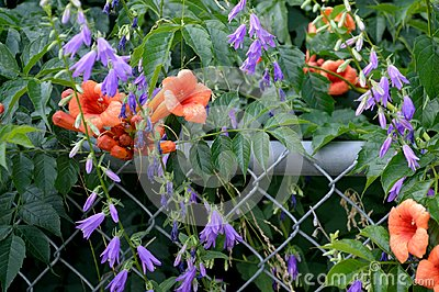 trumpet vine creeping bell flower