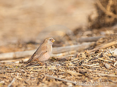 The Trumpeter Finch in winter