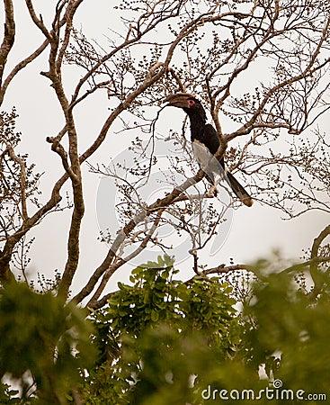 Trumpeter Hornbill on a tree