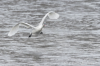 Trumpeter Swan Coming in for a Landing