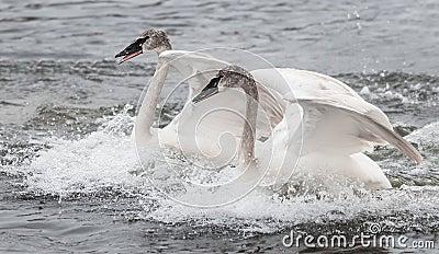 Trumpeter Swan (Cygnus buccinator) Duo Landing