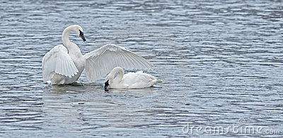 Trumpeter Swan Display for Another