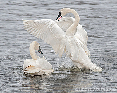 Trumpeter Swan Display with Splashes