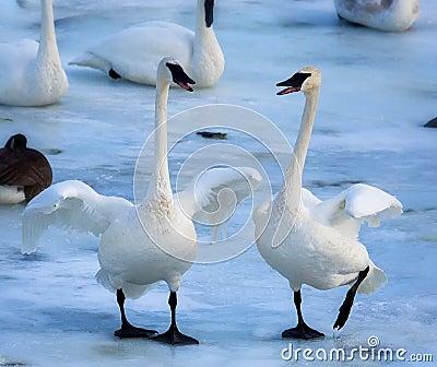 Trumpeter Swan Duo