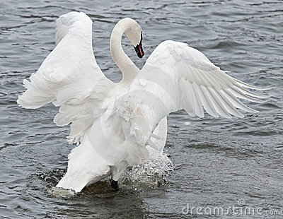 Trumpeter Swan Flaps Wings & Paddles Feet