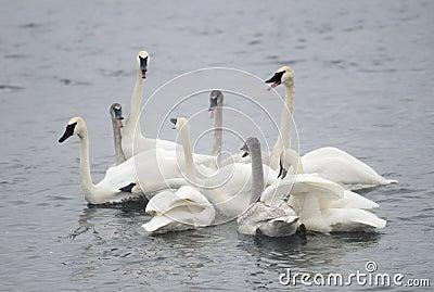 Trumpeter Swan Group