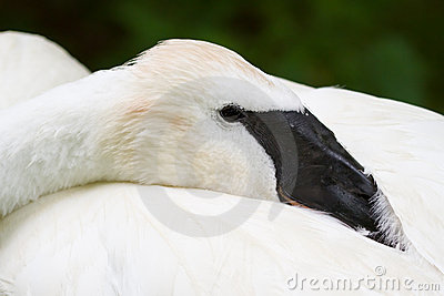 Trumpeter Swan at Rest