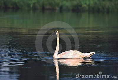 Trumpeter Swan on River
