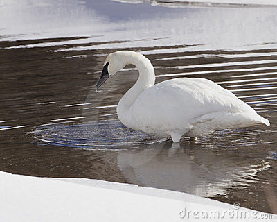 Trumpeter Swan Sipping Water