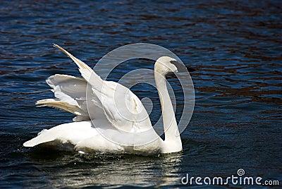 Trumpeter Swan Stretching Wings