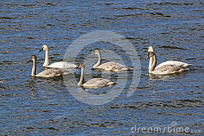 Trumpeter Swans and juvenile