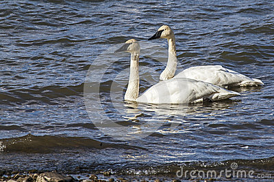 Trumpeter Swans mating pair