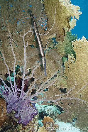 Trumpetfish and Common Sea Fan