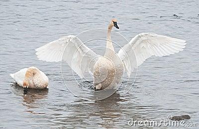 Trumpter Swan Spreads His Wings