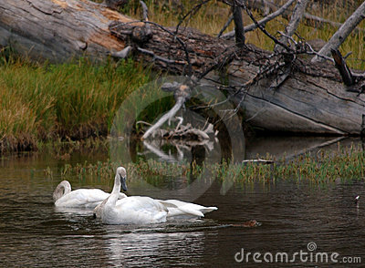 Trumpter Swan Watching Otter