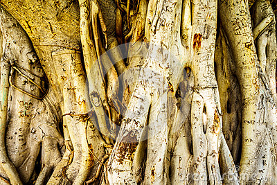 Trunk and air roots of a Banyan Tree carved with names Stock Photo