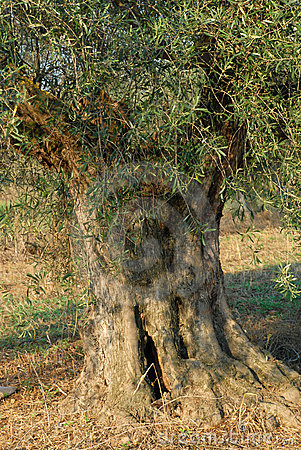 Trunk of an olive tree