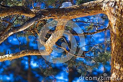 Trunk pine