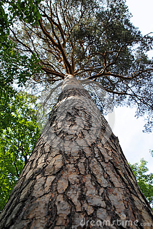 Trunk of pine tree