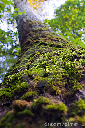 Trunk of the tree overgrown with green moss