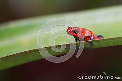 Truskawkowa jad strzałki żaba