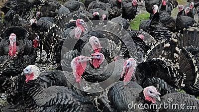 Truthühner in Freilandhaltung Truthühner auf der Suche nach Nahrungsmitteln auf grünem Feld Männliche Truthühner im Inland, nah T