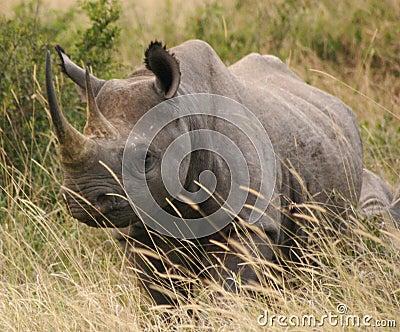 Tsavo rhino 2,04