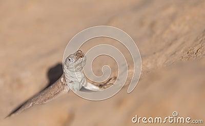 Tschudi s Pacific Iguana