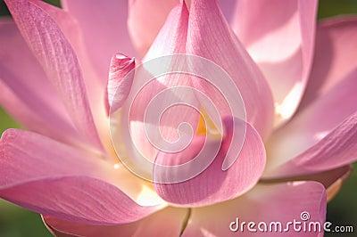 Tät blommalotusblomma upp
