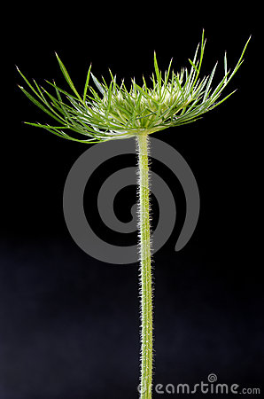 Tête de cosse de fleur sauvage