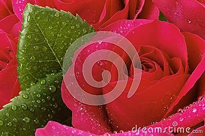 Tätt rött rose övre