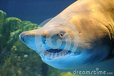 Tubarão.