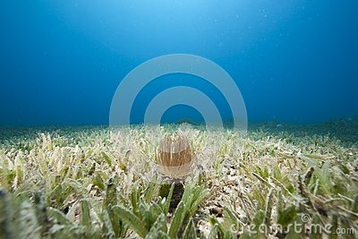Tube anemone and sea grass