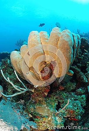 Tube sponges on coral reef