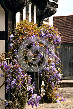 Free Tudor Antique House Blakesley Hall Entrance Wisteria Twine Vine Decorative Tree Flower Uk Birmingham Stock Photography - 61037792