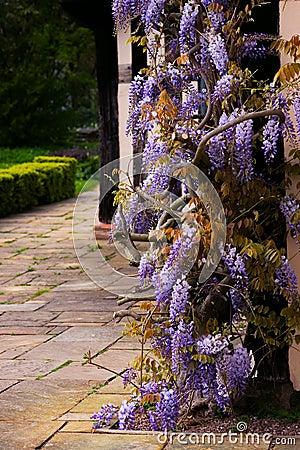 Free Tudor Antique House Blakesley Hall Entrance Wisteria Twine Vine Decorative Tree Flower Uk Birmingham Stock Image - 61043471