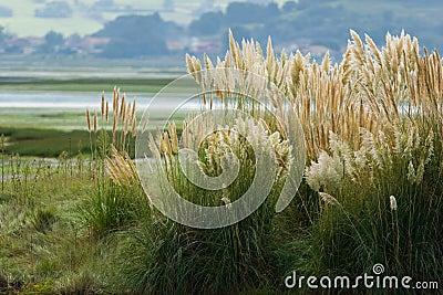 Tuft av pampas gräs