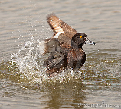 A Tufted Duck having fun