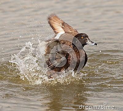 A Tufted Duck having fun