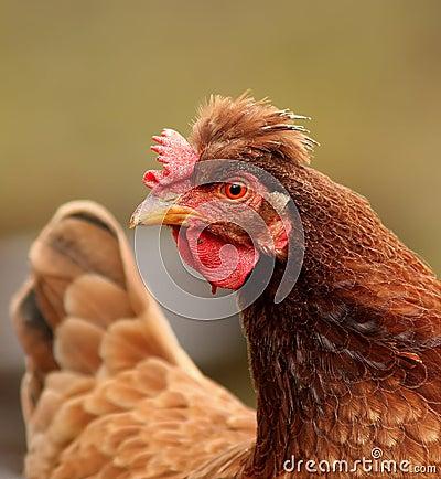 Tufted hen portrait