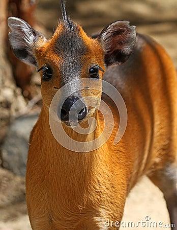 Tufted hjortar