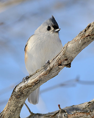 Tufted Titmouse Stock Image - Image: 17484421