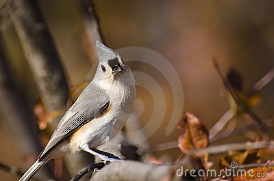 Tufted Titmouse in Autumn